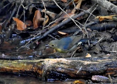 コルリ♂幼鳥2625