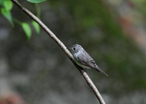 コサメビタキ幼鳥0249