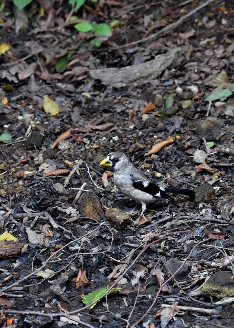 イカル幼鳥9498