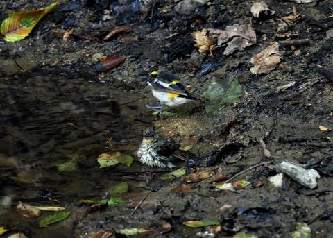 キビタキ♂と幼鳥3451