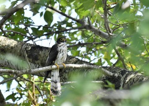 ジュウイチ幼鳥2871