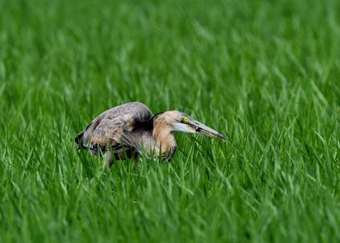 ムラサキサギ若鳥2505