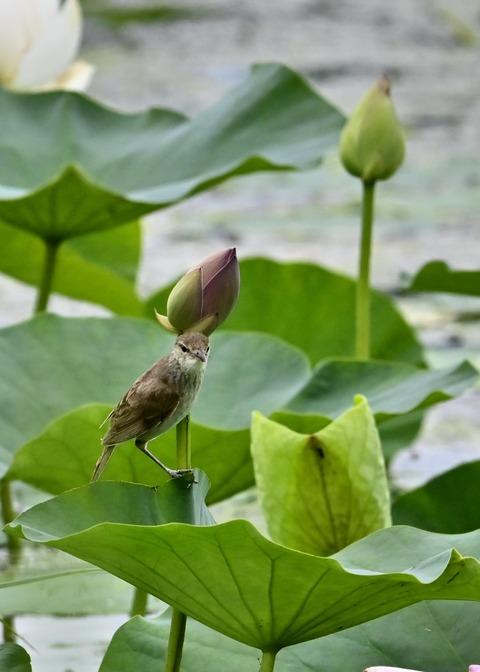 オオヨシキリ幼鳥8541