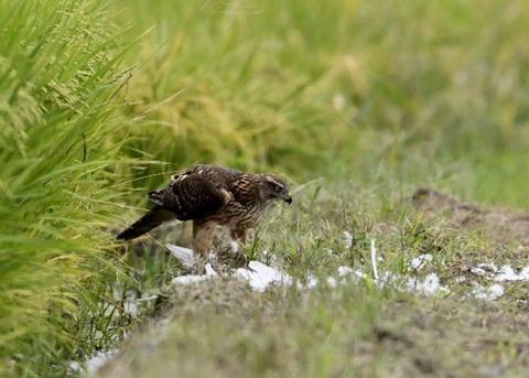 オオタカ若鳥3200