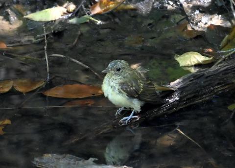 キビタキ幼鳥3485