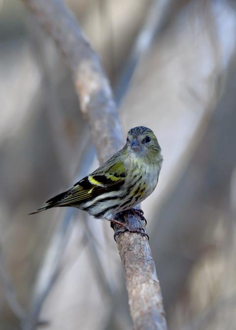 マヒワ若鳥3775
