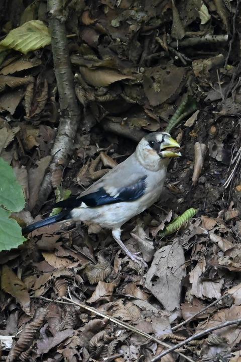 イカル幼鳥1165