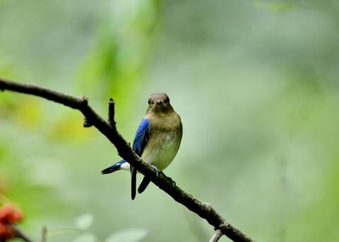 オオルリ♂若鳥0564