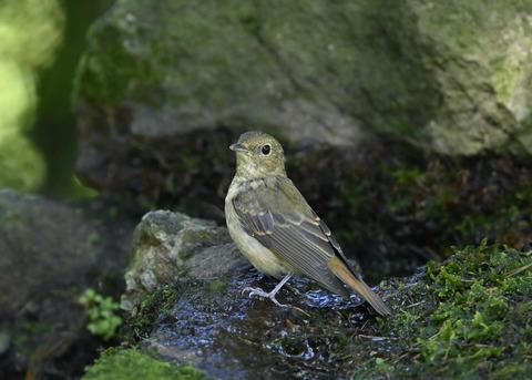 キビタキ♀幼鳥1323