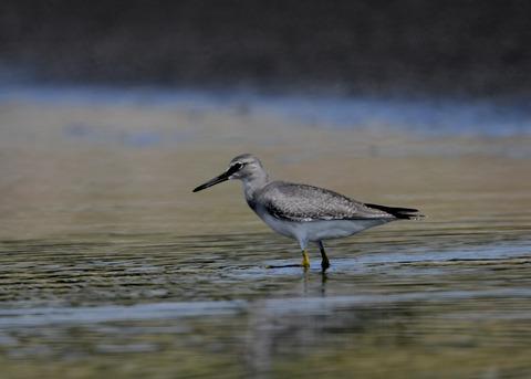 キアシシギ幼鳥9134