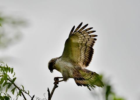 カンムリワシ若鳥6549