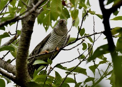 ツツドリ幼鳥5545