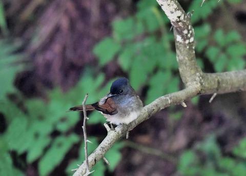サンコウチョウ幼鳥9419