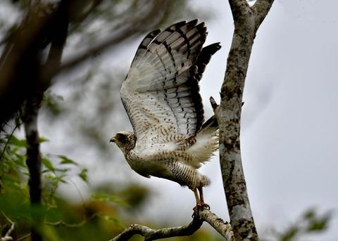 カンムリワシ若鳥6485