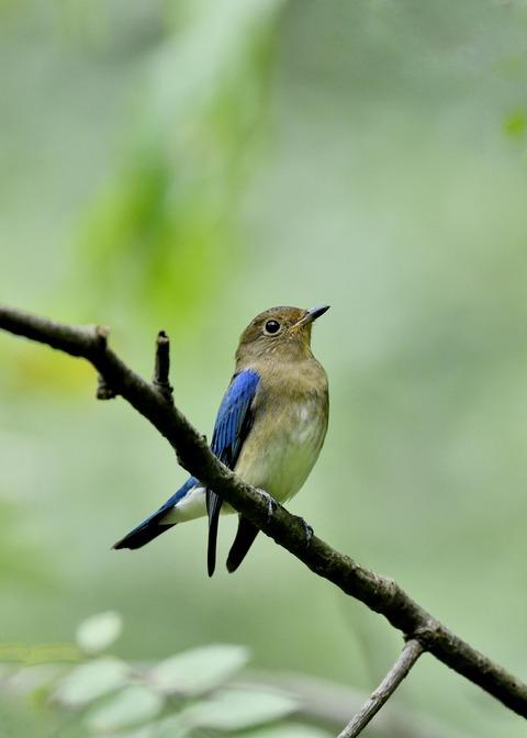 オオルリ♂若鳥0688