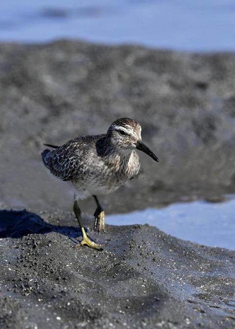 コオバシギ幼鳥0237
