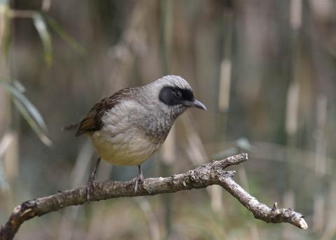 カオグロガビチョウ・若鳥・6083