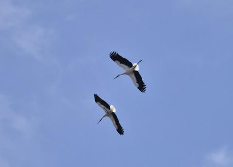 飛ぶ・コウノトリ(きずな&きらら)7612