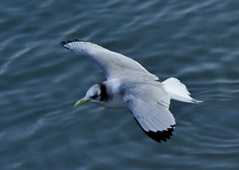 ミツユビカモメ成鳥4956