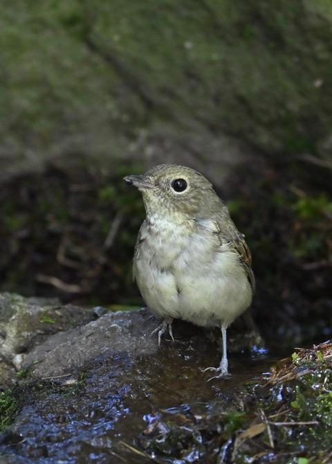 キビタキ♀幼鳥1294