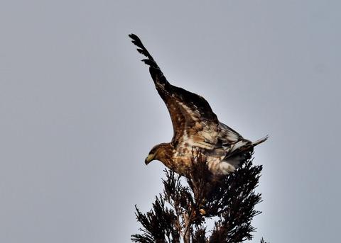 オジロワシ若鳥9307
