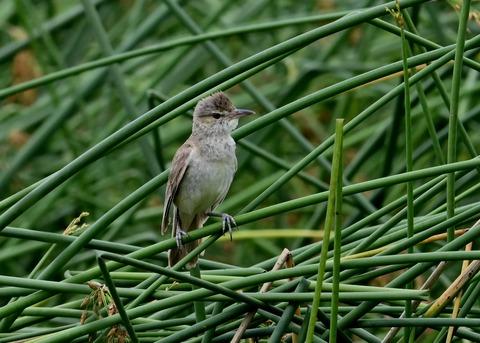 オオヨシキリ幼鳥8600