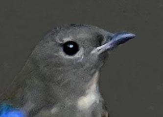 オオルリ幼鳥①6353-01
