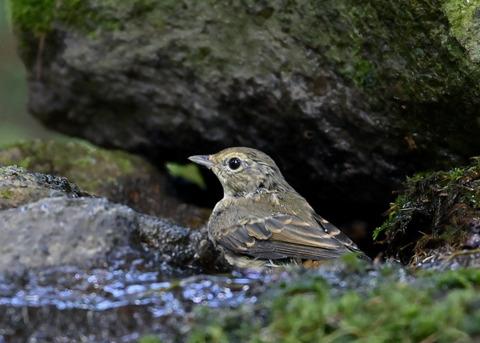 キビタキ♀幼鳥1078