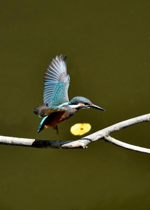 カワセミ若鳥5154