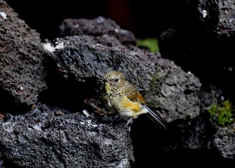 ルリビタキ幼鳥8770