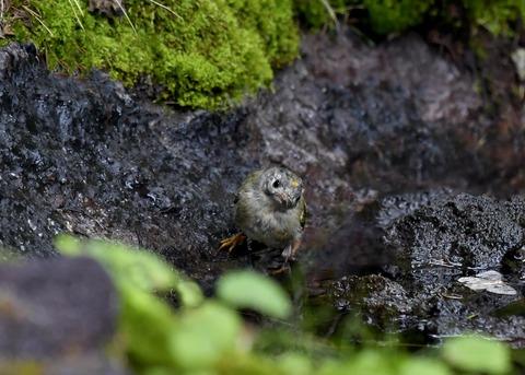 キクイタダキ幼鳥2853