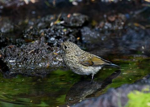 ルリビタキ幼鳥4030