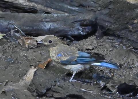 オオルリ幼鳥②6257