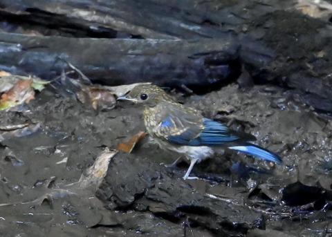 オオルリ幼鳥②6260