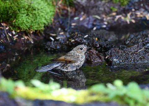 ルリビタキ幼鳥2547-01