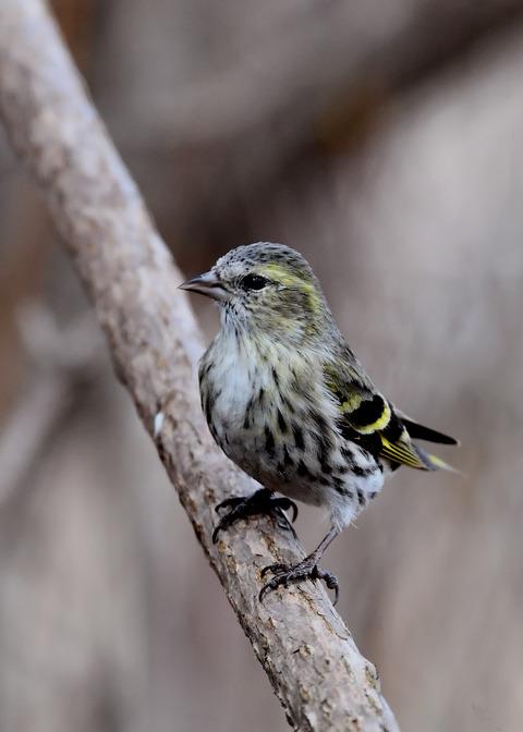 マヒワ若鳥3291