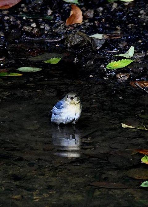 コルリ♂幼鳥7327