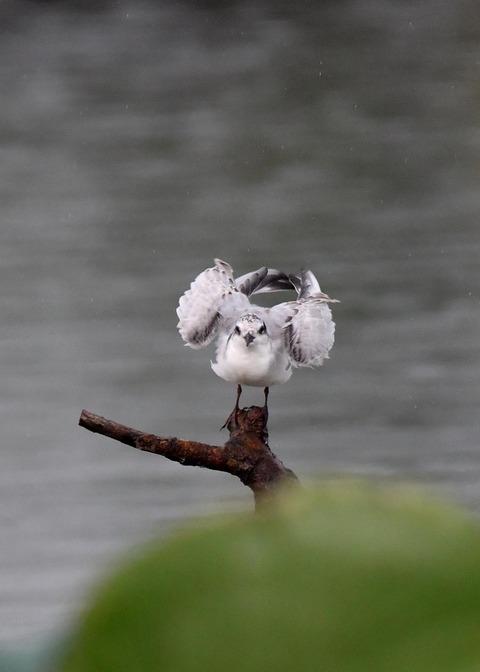 クロハラアジサシ幼鳥1840