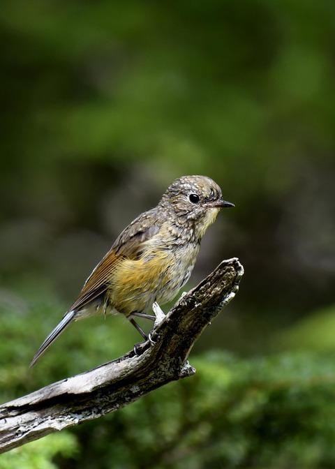 ルリビタキ幼鳥8983