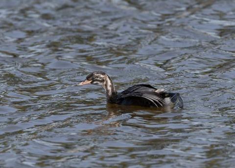 カイツブリ幼鳥0271