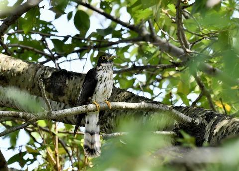 ジュウイチ幼鳥2887