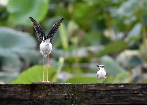 クロハラアジサシ幼鳥2933