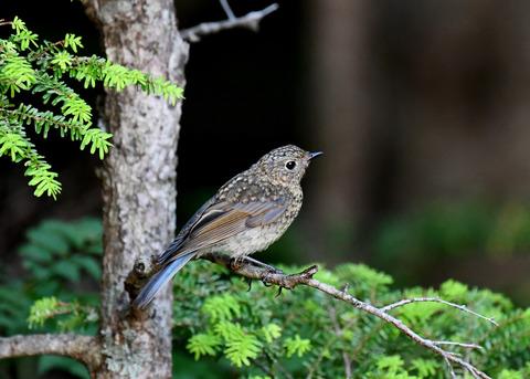 ルリビタキ幼鳥2551