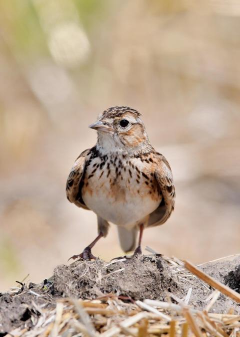 ヒバリ若鳥3797