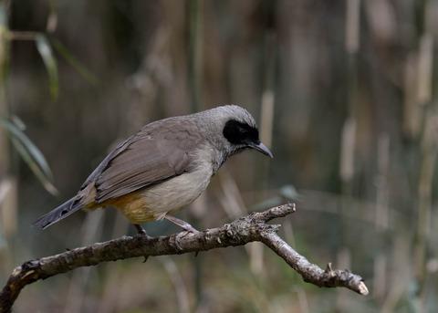 カオグロガビチョウ・若鳥・6089