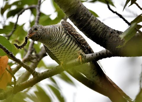 ツツドリ幼鳥5256