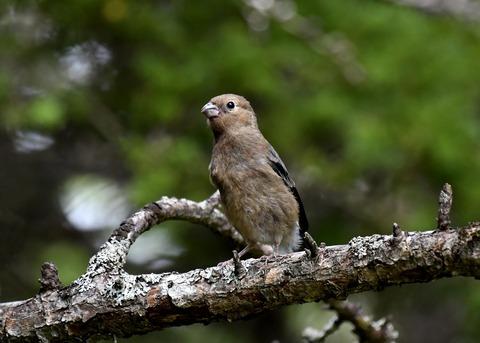 ウソ幼鳥8391