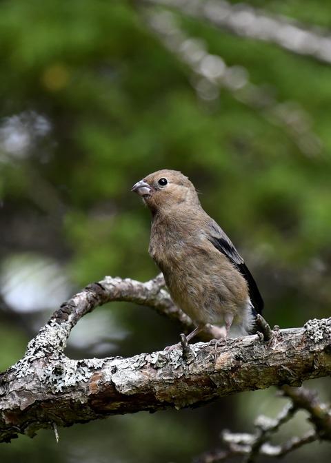 ウソ幼鳥8404