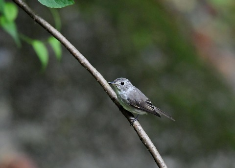 コサメビタキ幼鳥0243