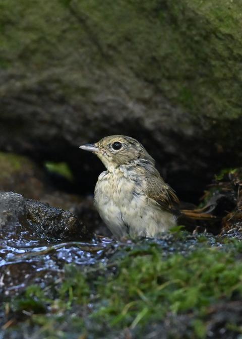 キビタキ♀幼鳥1038